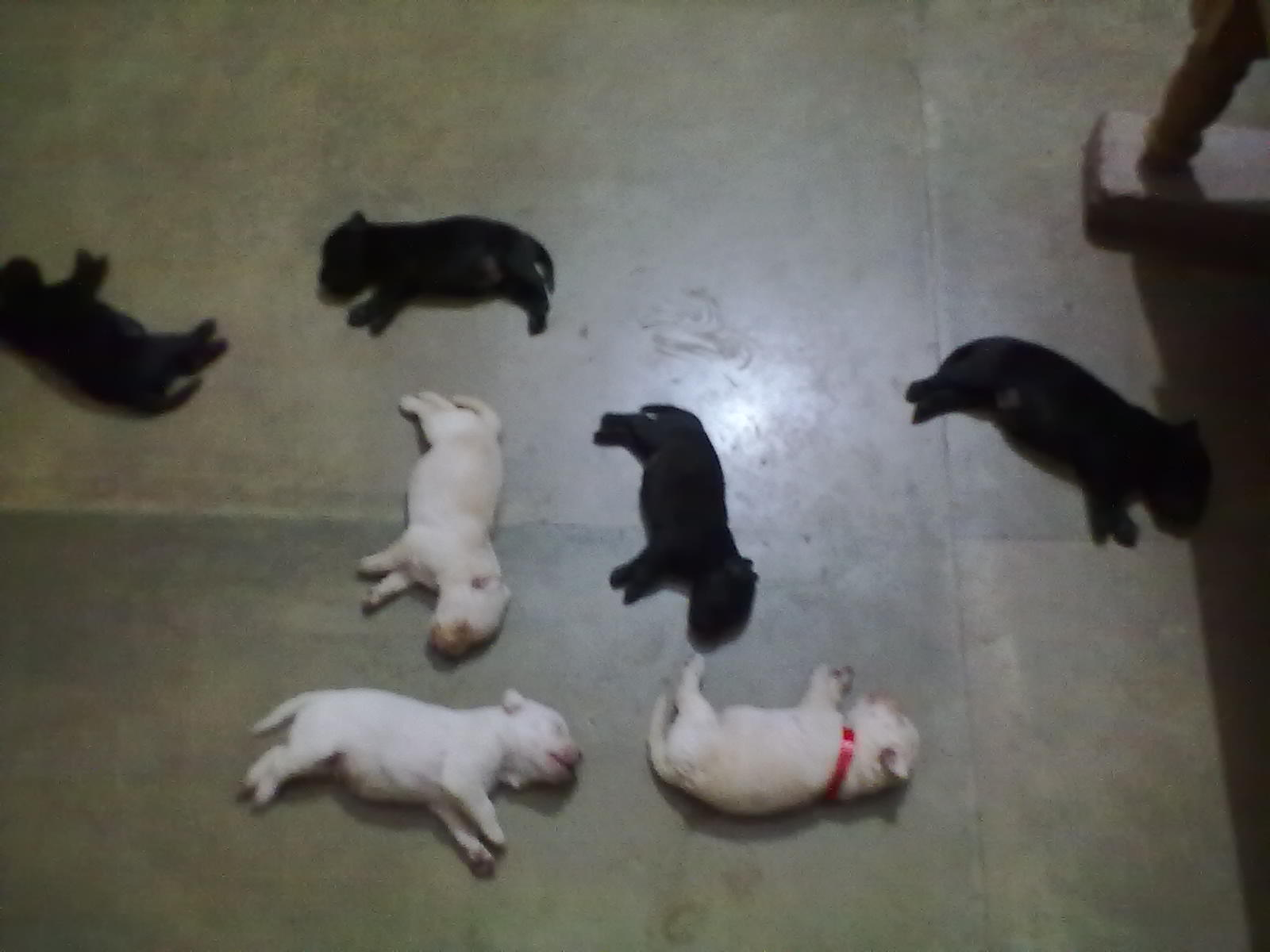 LEBRADOR PUPPY FOR SALE.